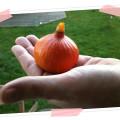 Kürbis, diesen Herbst.  Dieses süße Exemplar war die ganze Ausbeute bei der Kürbisernte im Garten!